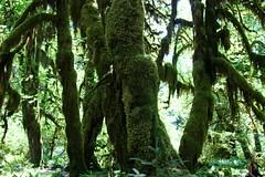Moss shade behind the sunlight (daveynin) Tags: sunlight tree green moss rainforest nps branches bark shade olympic deaftalent deafoutsidetalent deafoutdoortalent
