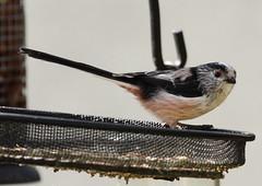 Long-tailed Tit (warren hanratty) Tags: nature wildlife gloucestershire longtailedtit aegithaloscaudatus nailsworth wildbird ef100400mmf4556lisusm warrenhanrattyphotography