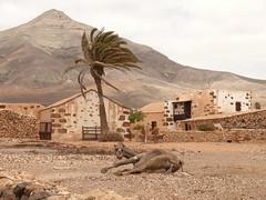 Fuerteventura (gerhardschorsch) Tags: fuerteventura kamel sturm