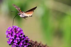 Moro Sphinx (dprezat) Tags: macro nature sphinx nikon papillon insecte microcosmos d800 colibri morosphinx sphinxcolibri nikond800 smallcreaturewilllovethisplace