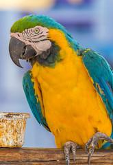 Parrot - Papagai (Felix Schrmeyer | Fotografie | PicturePS98) Tags: tiere parrot orte grece papagai ierapetra