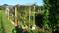 na njivi (peter++) Tags: vrt slovenia slovenija njiva paradajz