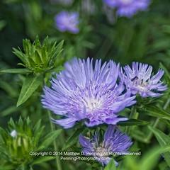 Spotlight on Lavender (MattPenning) Tags: flower green leaves garden petals purple pentax lavender potd botanicalgarden vivitar manualfocus k5 springfieldillinois washingtonpark mattpenning manuallens kmount mattpenningcom penningphotography justpentax vivitar28mmf2closefocus pentaxk5