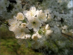 (Tlgyesi Kata) Tags: whiteflower spring blossom botanicalgarden botanikuskert withcanonpowershota620 debreceniegyetembotanikuskert debotkert debrecenibotanikuskert