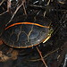 Chrysemys picta dorsalis (Southern Painted Turtle)