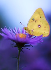 Dinner Time (j man.) Tags: life lighting light flower color macro texture nature floral beautiful yellow vertical composition contrast butterfly lens photography focus dof purple blossom bokeh pov background sony details dream clarity blurred 11 depthoffield pointofview sp ii di if f2 tamron tones hue ld slt aster jman macrophotography af60mm flickrbronzetrophygroup a65v