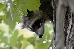 COON_1214a (Scott_Knight) Tags: tree minnesota wisconsin canon raccoon