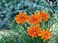 balcony flowers (gerben more) Tags: flowers orange flower color colour colors flora utrecht colours balcony