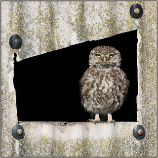 Little Owl (image 1 of 5)