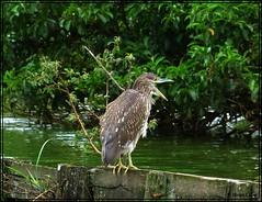 Socozinho (Butorides striata), jovem (DiogoCsar) Tags: bird nature animal braslia brasil df natureza pssaro panasonic ave socozinho fz150