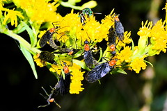 Busy (donjuanmon) Tags: flowers red black macro green yellow closeup bee jungle hmm lovebugs macromondays donjuanmon