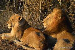 DSC_3574 (Arno Meintjes Wildlife) Tags: africa nature southafrica wildlife lion safari predator bigcats krugerpark pantheraleo arnomeintjes