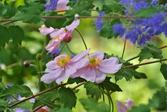 Blue And Pink (ivlys) Tags: flowers macro nature germany deutschland blumen darmstadt minigarden anemonejaponica bartblume japanischeherbstanemone ivyls caryopteris×clandonensis