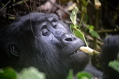 Mountain Gorilla, Uganda (Rod Waddington) Tags: africa mountain forest king forrest gorilla feeding great kong ape uganda impenetrable bwindi