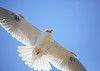 Black shouldered kite (dianecutting44) Tags: calendar photos and topshots naturesplus natureselegantshots panoramafotográfico thebestofmimamorsgroups faunayfloradelmundo theoriginalgoldseal flickrsportal nature'splus