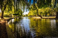 River Scene (Rob Felton) Tags: light reflection tree water river bedford bedfordshire willow felton blackswan embankment salix robertfelton theembankment thegreatouse