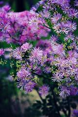 Purple (Across & Down) Tags: flowers summer bush fragrant shrub