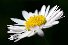 Smiling Daisy. (Anscheinend) Tags: daisy gnseblmchen sommer summer seitenlicht sidelight gelb yellow jaune pquerette