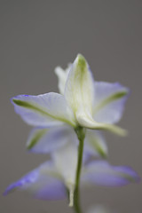 De las platabandas (Mar Cifuentes) Tags: macromondays mysterious flower flowers flor flores fleur light landscape park music garden new color purple white