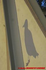 Rottnest Island - The Settlement - Chinese shadow seagull (soyouz) Tags: aus australie geo:lat=3199841817 geo:lon=11554267377 geotagged rottnestisland westernaustralia thesettlement mouette australiel