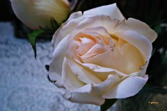 Rosa.....p1050618_4329953629_oP (gtercero) Tags: 20100203 rosa gtercero