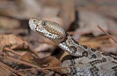 Neonate Timber Rattlesnake (cre8foru2009) Tags: crotalushorridus timberrattlesnake canebrake neonate baby young snake herping reptile venomous pitviper georgia