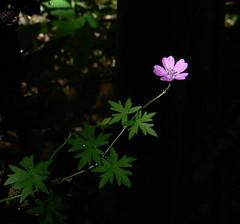 Wildflower (fiore di campo) (giorgiorodano46) Tags: giugno2008 june 2008 giorgiorodano bagnaia lazio italy tuscia rosa pink bokeh wildflower