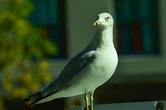 October 7th (michaeltwo2) Tags: birds seagull harbourfront toronto
