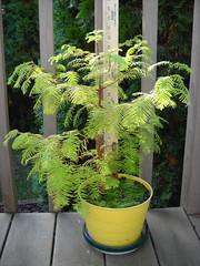 Baby Redwood Progress Foto (Crickett-Grrrl) Tags: tree redwood dawnredwood progress growth