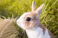 IMG_1660.jpg (ina070) Tags: animals canon6d cute grass outdoor outside pets rabbit rabbits