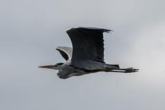 _F0A9234.jpg (Kico Lopez) Tags: ardeacinerea galicia garzareal lugo mio spain aves birds rio mio