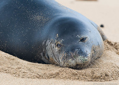 070126_Laie_0296 (cbabbitt) Tags: mammal monkseal seal