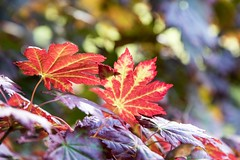 Red and Purple (yattondave) Tags: autumncolours fall trees leaves westonbirt arboretum