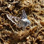 Common Checkered-Skipper thumbnail