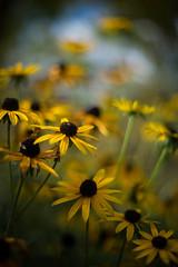 Rudbeckias (tonybill) Tags: autumn fall gardens miscellaneous october rhs rhswisley smctakumar50mmf14 sonya7ii sunshine surrey wisley bokeh