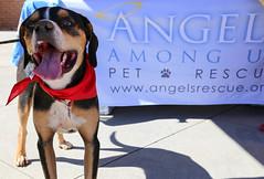 dudleywalker-5999 (angelsrescue) Tags: aau pets angels among us pet rescue alpharetta ga dog love