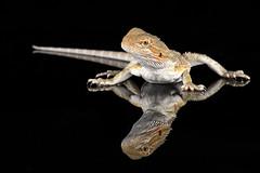 Bearded dragon (Explored*) (hehaden) Tags: reptile lizard beardeddragon pogonavitticeps reflection captivelight bournemouth