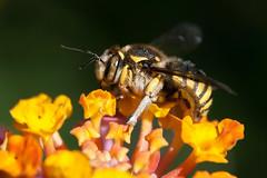 Bug Eyes (Luis-Gaspar-less-active) Tags: animal insect insecto abelha abelhasolitaria bee carderbee hymenoptera apocrita apoidea apidae portugal oeiras nikon d60 18105 f56 1800 iso400 anthidiumflorentinum