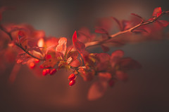 Japanese Barberry - Seasonal Colours 1 (Dhina A) Tags: sony a7rii ilce7rm2 a7r2 samyang 135mm f20 f2 samyang135mmf20 bokeh bokehlicious smooth soft japanesebarberry berberis barberry japan red autumn fallcolourful color colours seasonal plant shrub berry berries