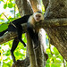 White faced capuchin chills on a branch