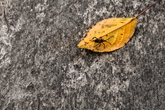 Bug on a leave.jpg (Ivo Kreber) Tags: autumn canon canon6d concrete photography travel autumncolors beetle brutalism bug bugs creature fall fallcolors forest herbst insect leaves macrogardener naturalstone october seasons trees