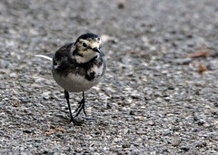 Pied Wagtail (5) (grahamh1651) Tags: helstonboatinglake birds gulls ducks geese waterbirds swans