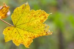 Photo of Autumn Sycamore