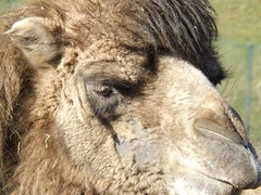 ~ chester zoo ~ Bactrian Camel ~ (A4ANGHARAD) Tags: chesterzoo camel bactriancamel macevans zoo fuji sl240