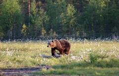 European Brown Bear crossing meadow in forest clearing (Paul Cottis) Tags: paulcottis finland 21 june 2016 boreal mammal brownbear