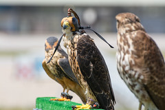 (tincho.uy) Tags: aerofotofest bird pajaro ave halcon