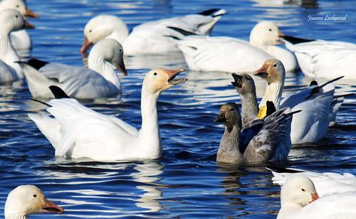 Snow Goose Calling