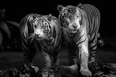 No Fear (.Randy.) Tags: white tiger big cat
