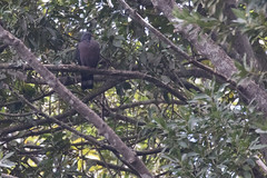 Pigeon de Bolle (Columba bollii) (adrien2008) Tags: pigeon de bolle columba bollii tenerife