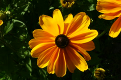 BLACK - EYED SUSAN (dig dave) Tags: univofalaskafairbanks blackeyed susan rudbeckia yellow alaska